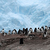 Gentoo Penguins and chicks against the backdrop of a huge glacier