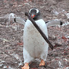 Gentoo Penguin bringing inappropriate nest material to its partner!