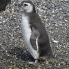 Magellanic Penguin (Spheniscus magellanicus) chick, Beagle Channel