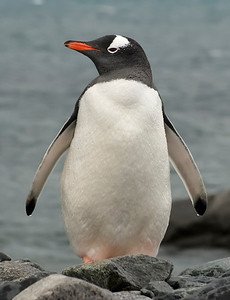 Gentoo Penguin, dripping from its recent swim