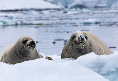 Two Seals Resting