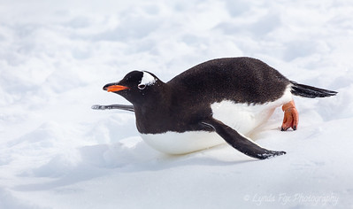 Penguin Sliding Downhill