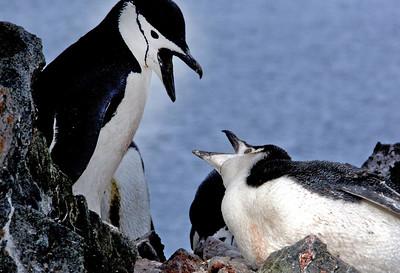 antarctica-weddel-sea-chinstrap-penguins-1