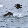 Brown Skua harassing a Shag in an attempt to get it to regurgitate its catch.