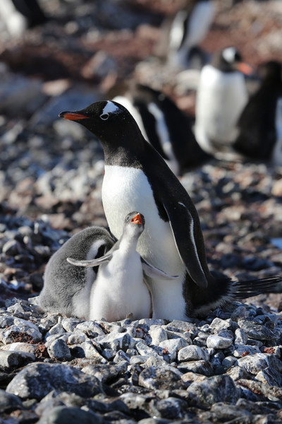 Gentoo Penguin with tiny chick.  The chicks were much smaller on the Antarctic peninsula than on the South Shetlands