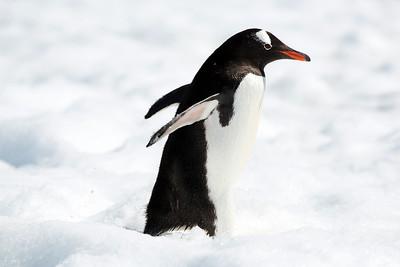Gentoo Penguin, Errera Channel, Cuverville Island, Antarctica