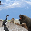 South American bull Sea Lion on rocks in Beagle Channel with his females around him.
