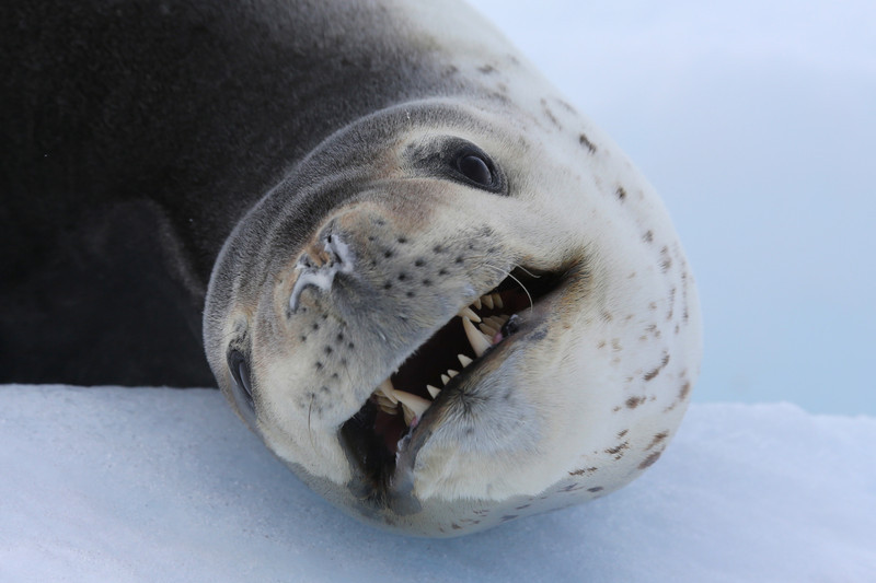 Leopard Seal on ice