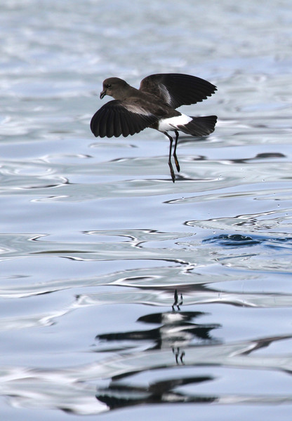 Wilson's Storm Petrel dancing across the water