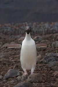 Adelie Penguin on a rocky beach