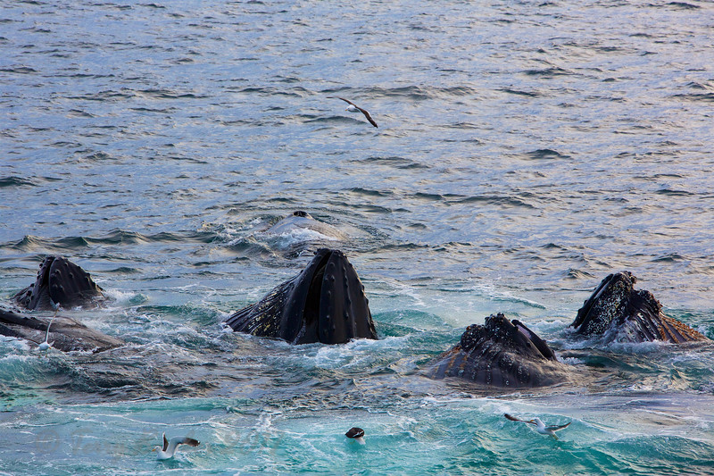 Humpback Whales, Bubble net feeding