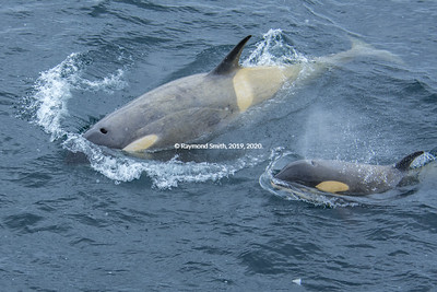Momma Orca Teaching Baby to Hunt