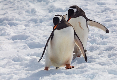 Penguin Dance Steps