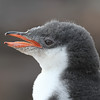 Gentoo chick portrait