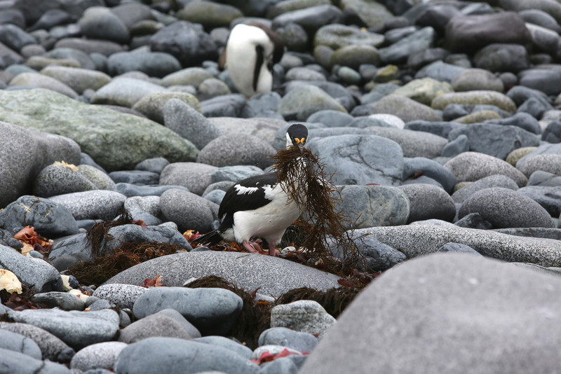 Shags were gathering nesting material on the shores of the island