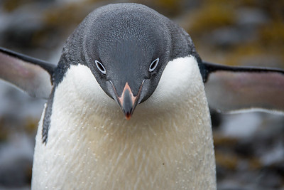 Adelie Penguin trying to stare down the Photographer