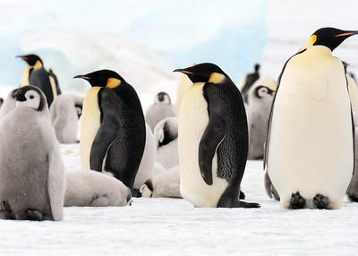 antarctica-weddel-sea-penguins-2
