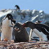 Adelie Penguin chick being scolded as it encroached on the territory of other penguins