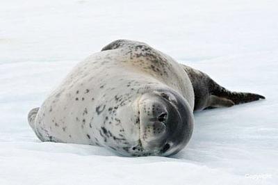 AntarcticaParadiseH_LeopardSeal_2571
