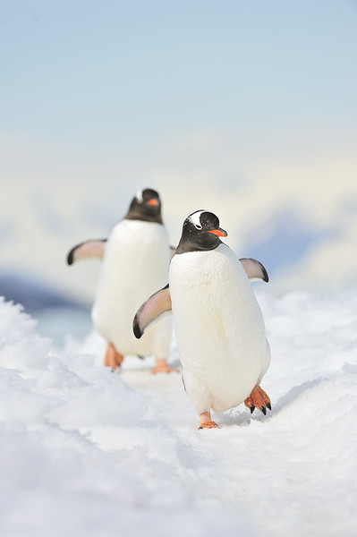 Gentoo Penguins - Antarctica
