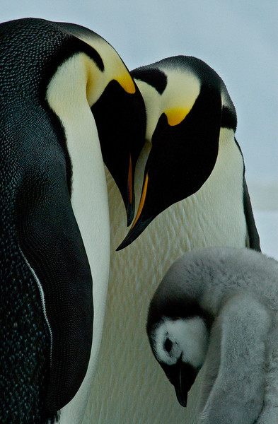 Emperor Penguins family