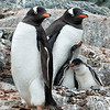Gentoo Parents and Chicks