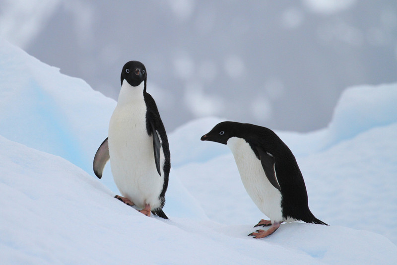 Adelie Penguins on an ice floe
