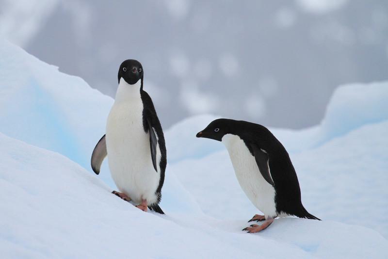 Adelie Penguins on an ice floe