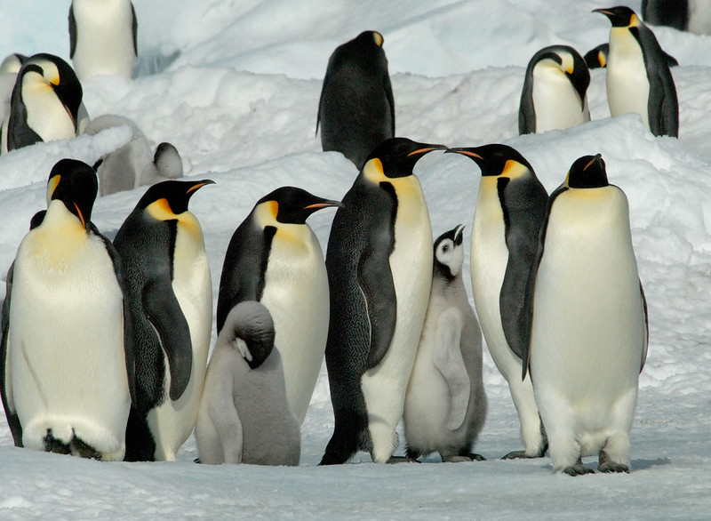 Emperor Penguins colony