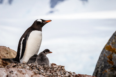 Gentoo Penguin & Two Chicks