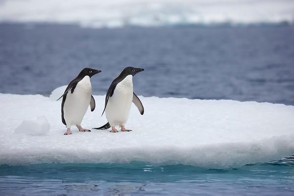 Adelie Penguins on ice sheet