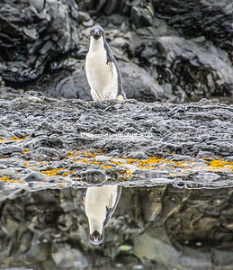 Adelie Penguin by Water.