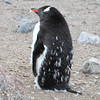 Moulting Gentoo Penguin