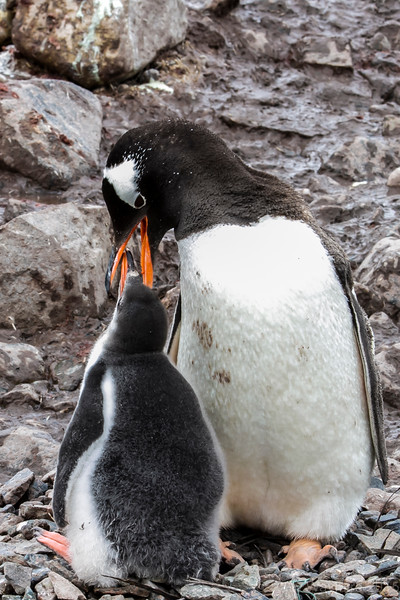 Gentoo mother feeding her fledgling - February 1, 2015