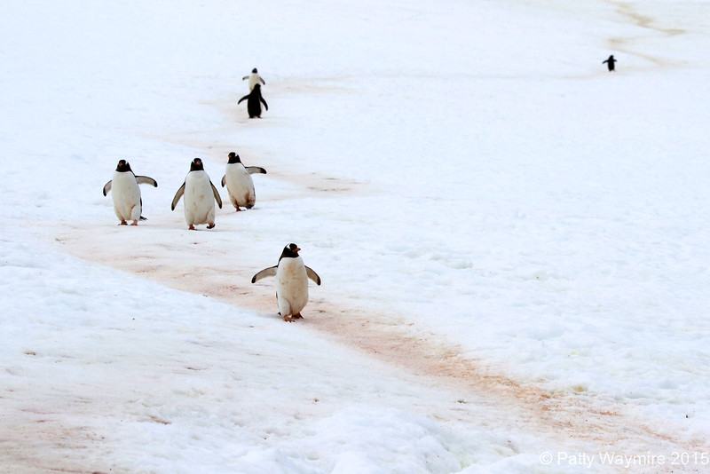 Penguin Trail - February 1, 2015<br /> It was interesting to see that no matter how the trail was laid out, the penguins stayed on it.  There were trails like this everywhere, and nowhere did I see a penguin straying from one.