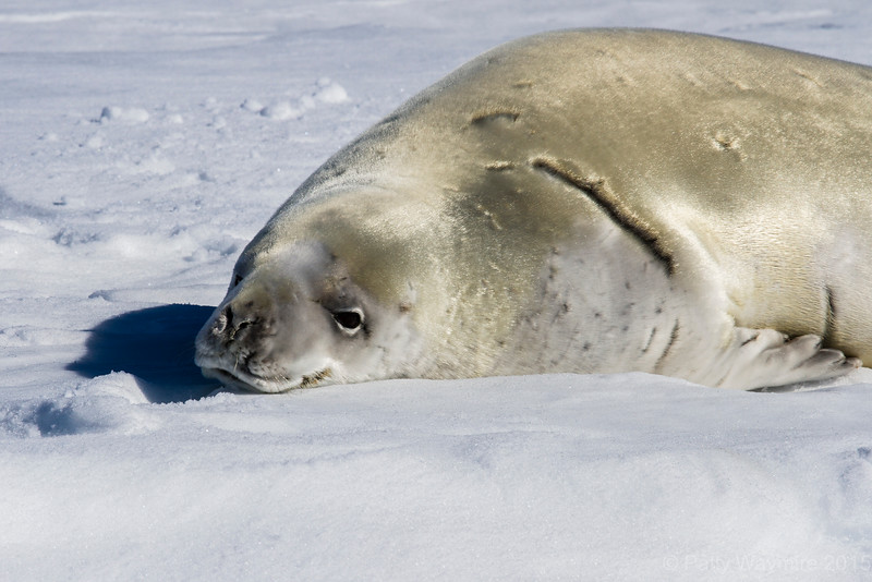 Crabeater Seal dozing on slab ice - February 3, 2015
