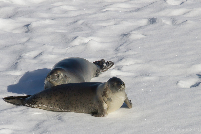 Crabeater Seals on slab ice - February 3, 2015