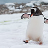 "Gentoo ""Happy Feet"", or as one of my friends calls him...""Charles"" - February 1, 2015"