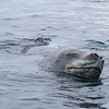 Leopard Seal - Booth Island
