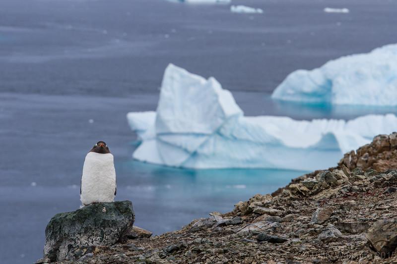 Gentoo Penguin - Danko Island