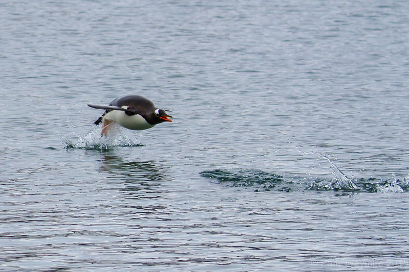 Gentoo penguin porpoising back into shore - as the penguins make their way back to shore, they porpoise out of the water, to allow them to see any hidden dangers, such as the Gerhlache Orcas or leopard seals.  They are incredibly fast!