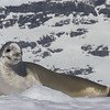 Crabeater Seal - ready for his closeup - February 3, 2015
