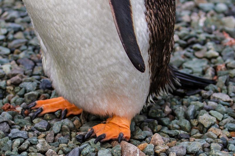 Gentoo toes