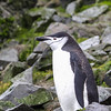 Hannah Point - Chinstrap Penguin - January 1, 2015<br /> Hannah Point was the only area we stopped at, that actually had any vegetation on it.  The entire area was covered in lichen, making it seem a bit surreal for Antarctica.