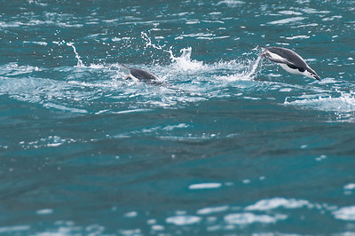 Chinstrap penguin diving out of the water near Elephant Island