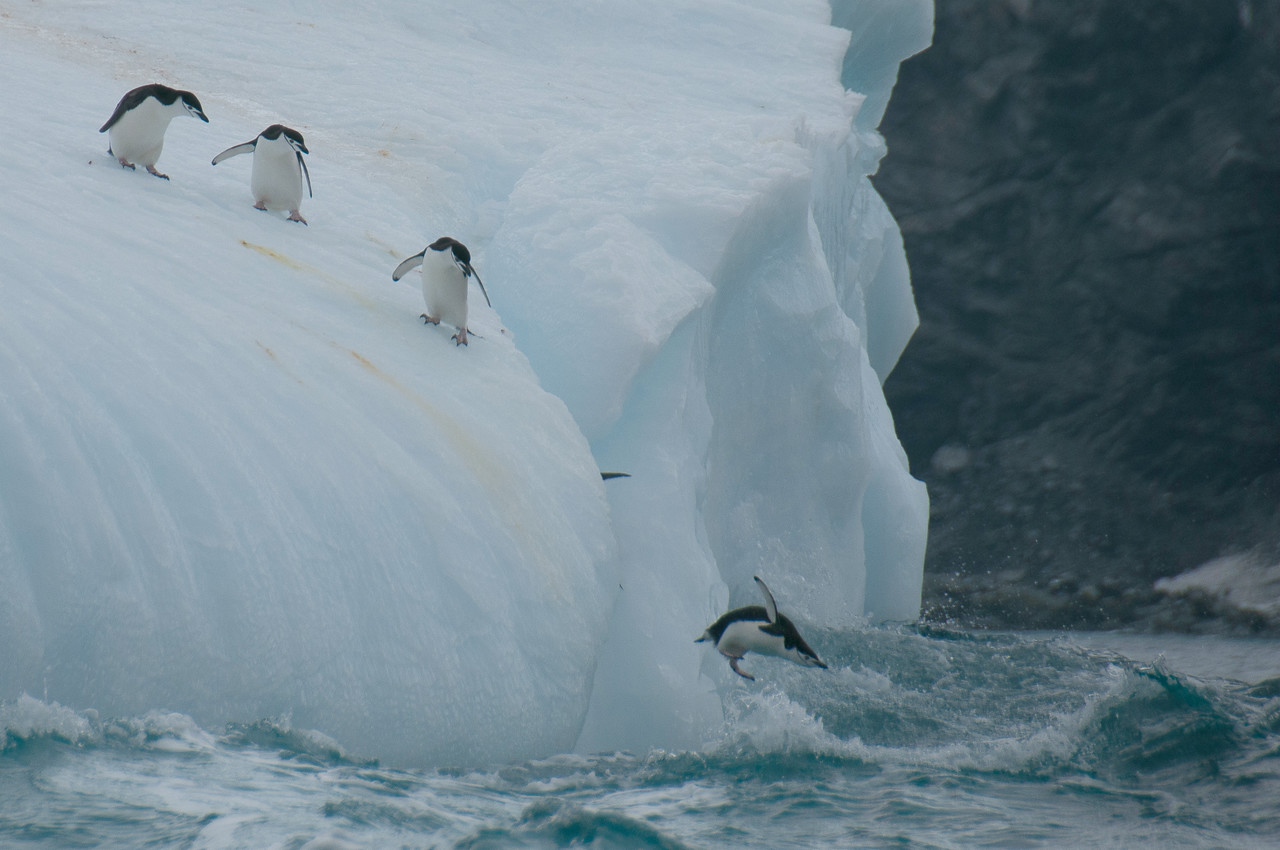 Chinstrap penguins on an iceberg near Elephant Island