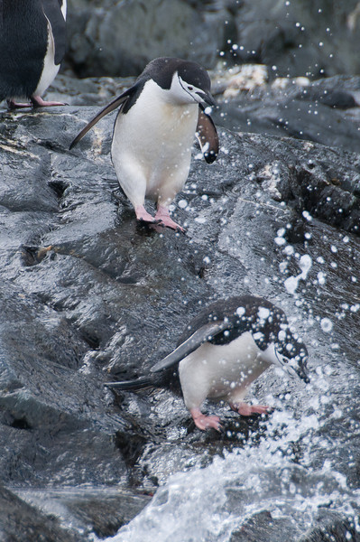 Chinstrap penguins diving into the water in Elephant Island, Antarctica
