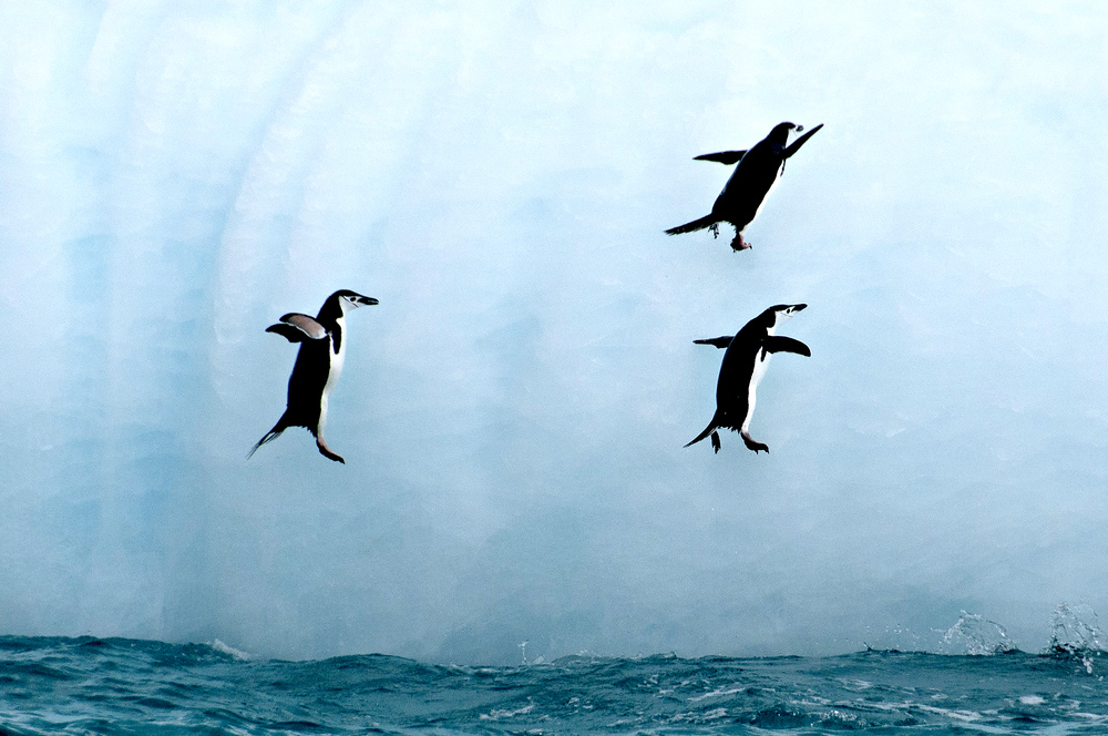 Flying Penguins Off Elephant Island, Antarctica