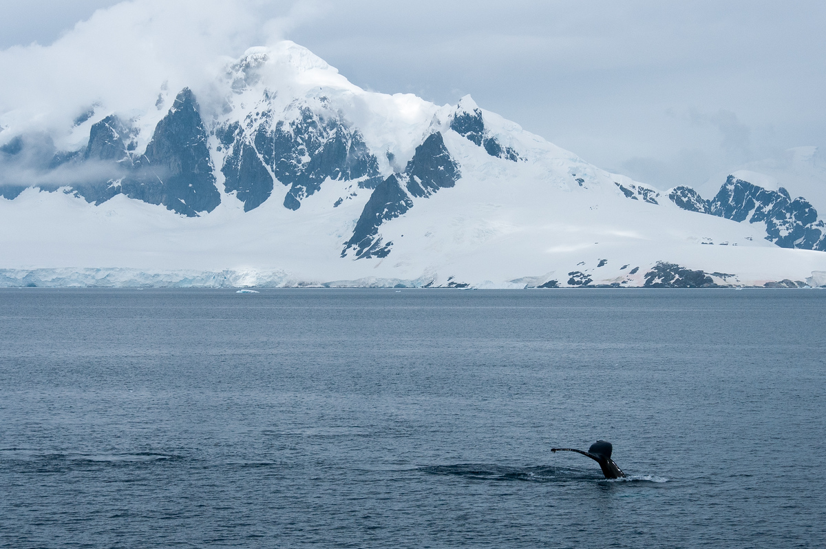A humpback whale diving in the Gerlache Strait, Antarctica