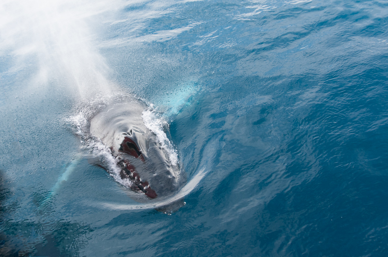 Humpback whale in the Gerlache Strait